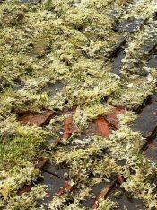 Moss-Damaged-Roof-Tile